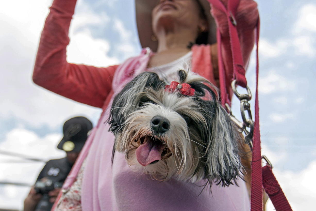 FILE -- This April 29, 2017 file photo shows Aja, a Biewer Terrier, watching the DockDogs competition, from a jacket pocket of her owner Charli Yarbrough, during the annual Pet Lovers' Extravaganza in Virginia Beach, Va. The American Kennel Club announced Monday, Jan. 4, 2021, that the Biewer Terrier has received full recognition, and is eligible to compete in the Toy Group, bringing the number of AKC-recognized breeds to 197.