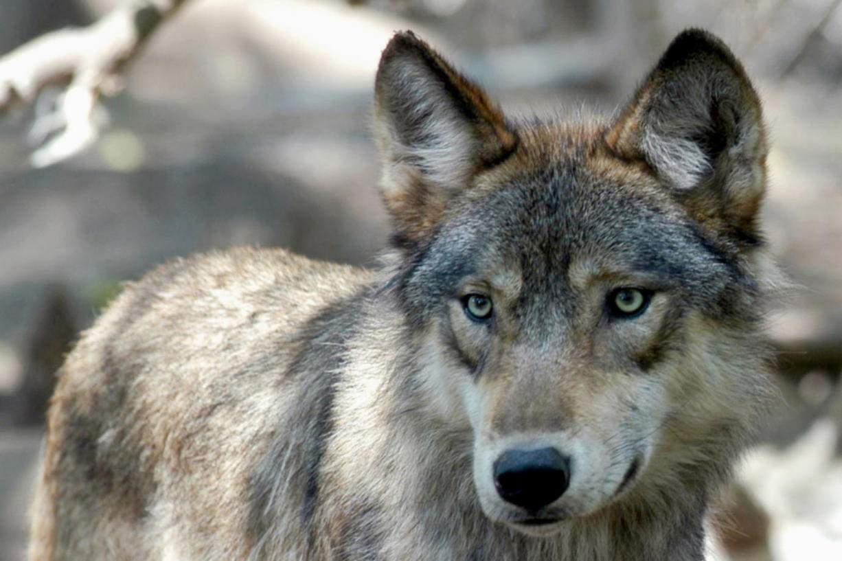A gray wolf at the Wildlife Science Center in Forest Lake, Minn. Colorado is going to be reintroducing gray wolves.