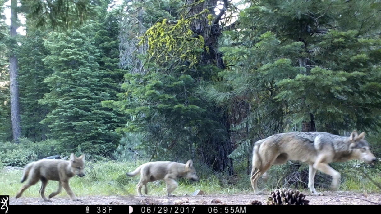 FILE - This June 29, 2017, file remote camera image provided by the U.S. Forest Service shows a female gray wolf and two of the three pups born in 2017 in the wilds of Lassen National Forest in Northern California. Trump administration officials on Thursday, Oct. 29, 2020, stripped Endangered Species Act protections for gray wolves in most of the U.S., ending longstanding federal safeguards and putting states in charge of overseeing the predators.  (U.S.