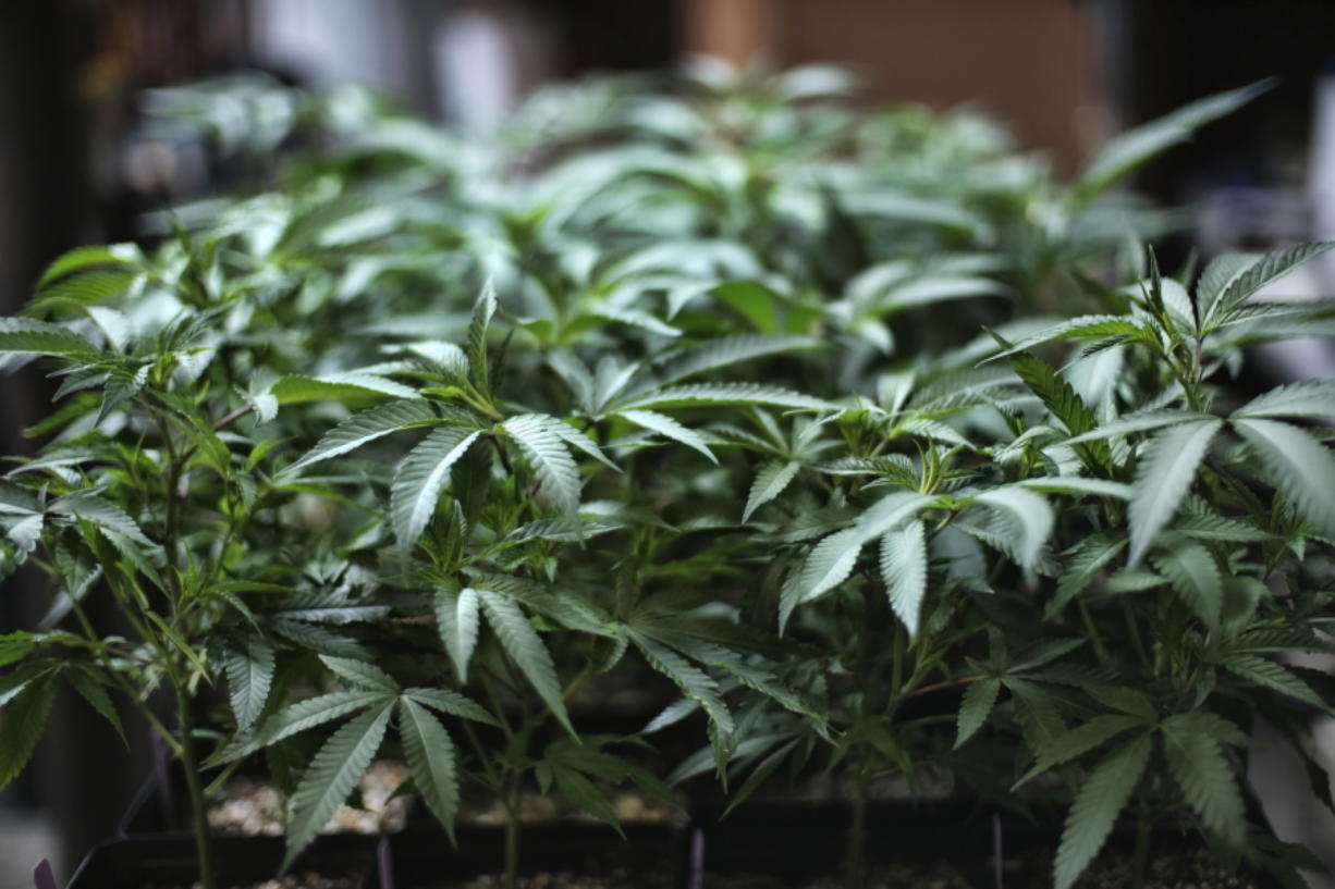 FILE - In this Aug. 15, 2019 file photo, marijuana grows at an indoor cannabis farm in Gardena, Calif. Top prosecutors in the vast majority of Arizona counties are dropping all existing possession of marijuana cases even before a new voter-approved law eliminating criminal penalties for having small amounts of the drug takes effect when results of the Nov. 3, 2020 election are certified. An Associated Press survey of county attorneys received responses from 13 of 15 elected county attorneys, all of whom said they were either immediately dropping existing cases or in one case pausing prosecutions and planning to drop them when Proposition 207 goes into effect.