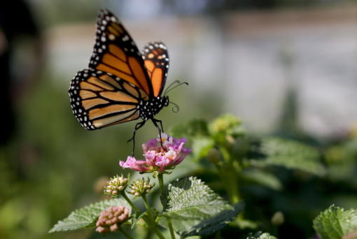 A monarch butterfly is seen in Vista, Calif., in 2015. The number of western monarchs wintering along the California coast has plummeted, researchers announced Tuesday.