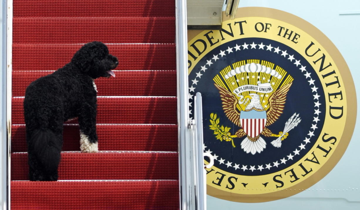 FILE - This Aug. 4, 2010 file photo shows presidential pet Bo climbing the stairs of Air Force One at Andrews Air Force Base, Md. for a flight to Chicago with President Barack Obama. Pets are back at the White House. President Joe Biden's German shepherds Champ and Major moved in over the weekend. They are the first dogs to live at the executive mansion since the Obama administration. Biden and his wife, Jill, adopted Major in 2018 from the Delaware Humane Association. They got Champ after the 2008 election.