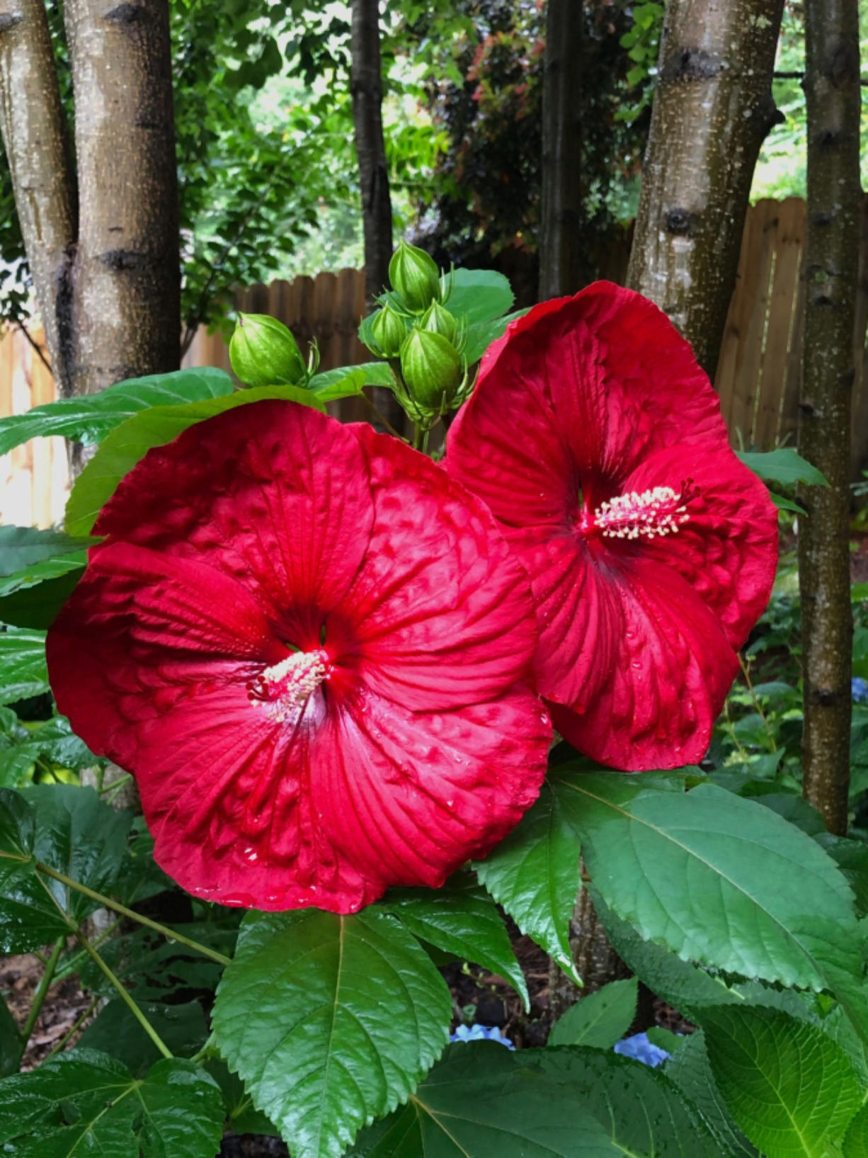 The Summerfic Holy Grail photographed in June shows the tropical looking feel of the large deep red flowers.