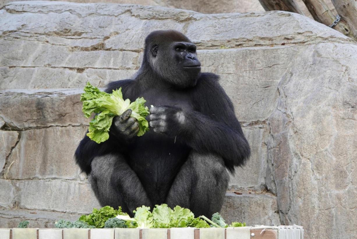 Frank, a gorilla, eats lettuce at the San Diego Zoo Safari Park on May 19. (K.C.