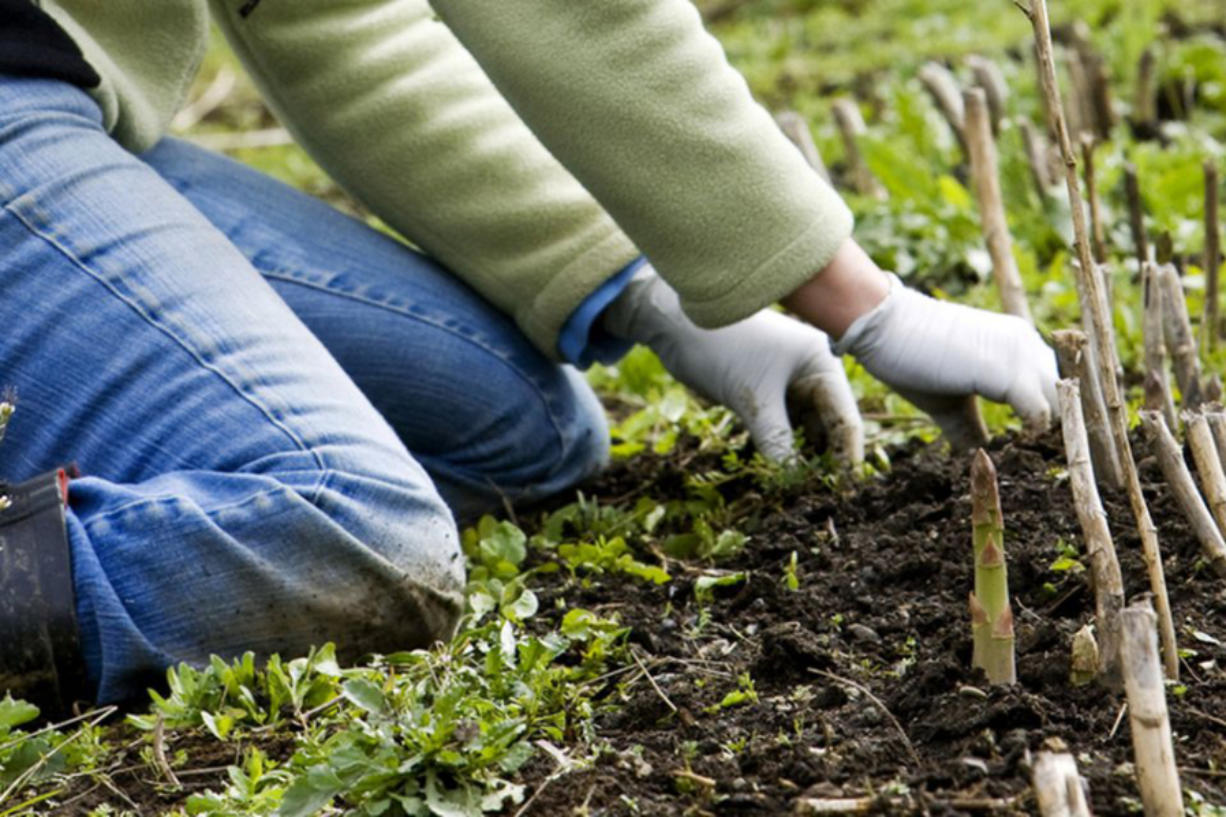 A grower weeds her asparagus bed by hand as the asparagus is beginning to sprout.