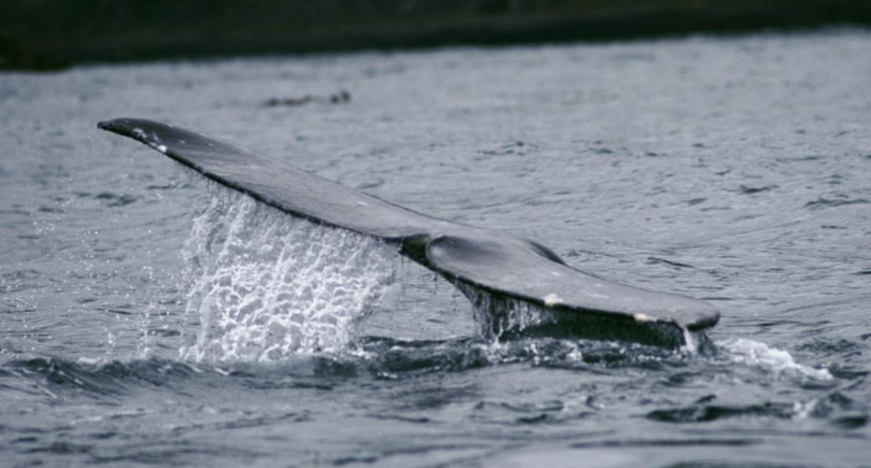 A gray whale shows its fluke as it dives off Depoe Bay, seen on a whale-watching tour with Carrie Newell's Whale Research EcoExcursions.