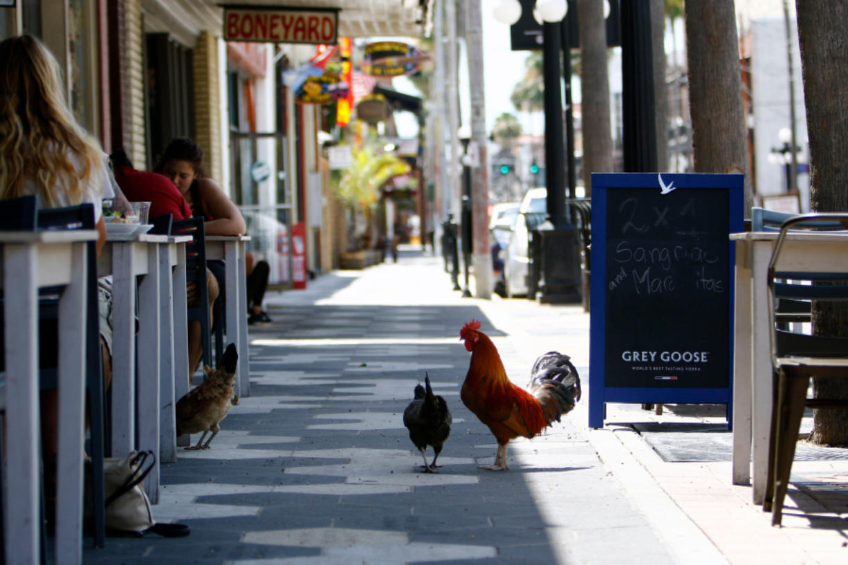 A family of chickens is seen in front of Acropolis Greek Taverna in Ybor City.