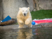 11-month-old Nora the polar bear dives into her pool at the Oregon Zoo.