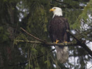 A bald eagle perches in a tree and surveys activity along a rural Vancouver road in 2015.