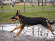 Tikka, a 7-month-old German shepherd, hurdles a puddle to return a ball to her owner Friday at the Dakota Memorial Off-Leash Dog Park in east Vancouver.
