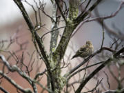 Raindrops hang in the branches of a tree in Ridgefield as a pine siskin takes a break. Veteran birder Susan Setterberg has counted a lot more of these birds this year.