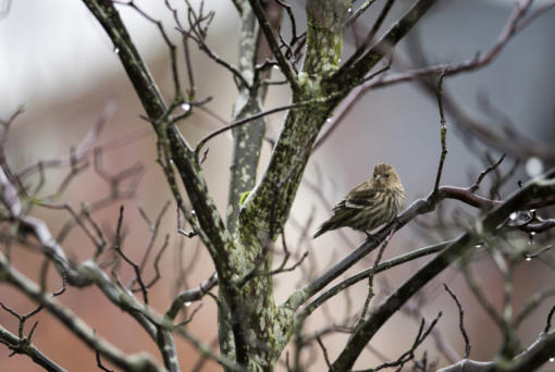 Raindrops hang in the branches of a tree in Ridgefield as a pine siskin takes a break.