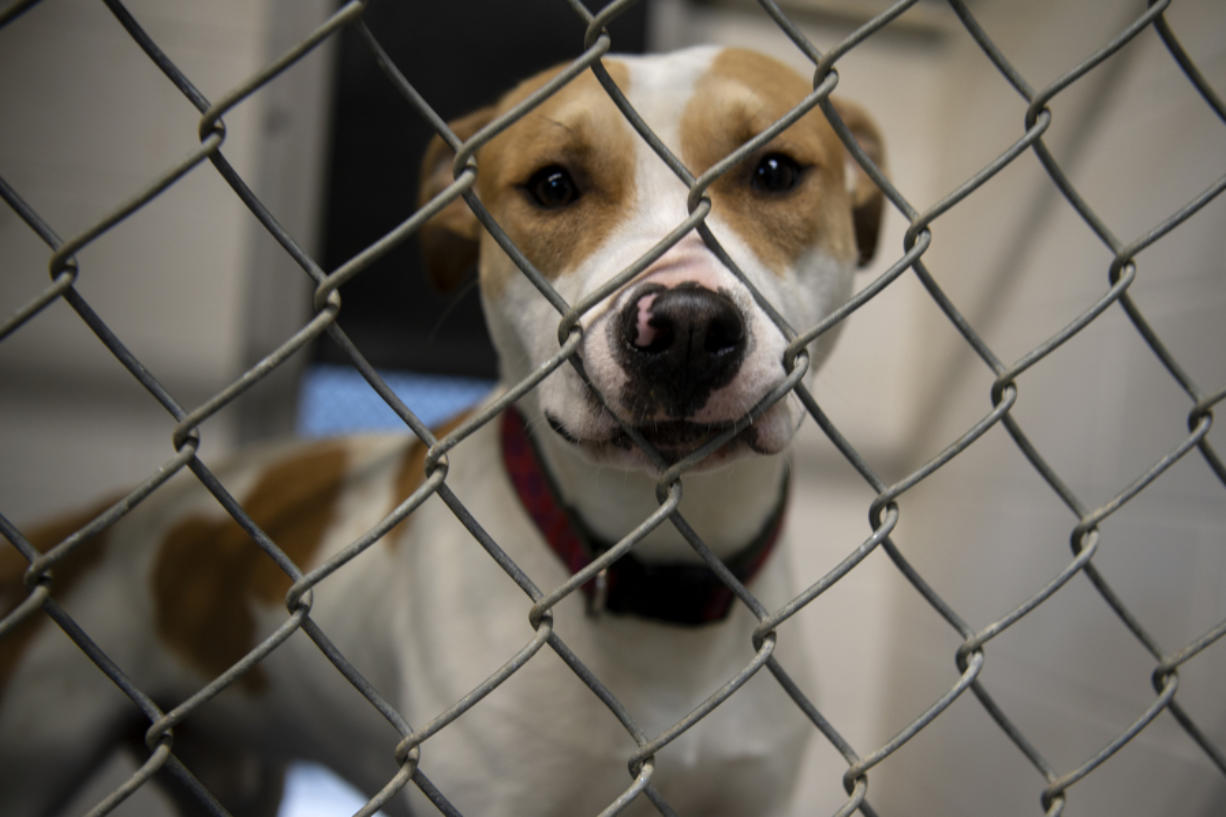 Indiana Bones looks out of his kennel at the West Columbia Gorge Humane Society in Washougal.