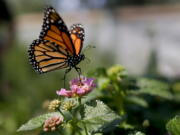 A monarch butterfly visits a flower in Vista, Calif., in 2015.