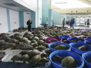 FILE - In this Feb. 16, 2021, file photo, thousands of Atlantic green sea turtles and Kemp's ridley sea turtles suffering from cold stun are laid out to recover at the South Padre Island Convention Center on South Padre Island, Texas.