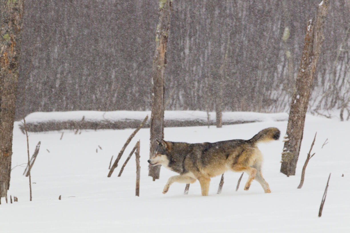 According to an Idaho Fish and Game population estimate, the state's wolf population remained stable between 2019 and 2020.
