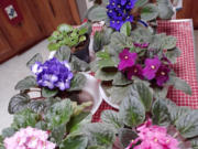 African violets are an easy to grow houseplant that let you bring flowers indoors.