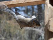 A rehabilitating squirrel traverses the wire fencing in an enclosure on a Squirrel Refuge volunteer's property in the Proebstel area north of Camas.