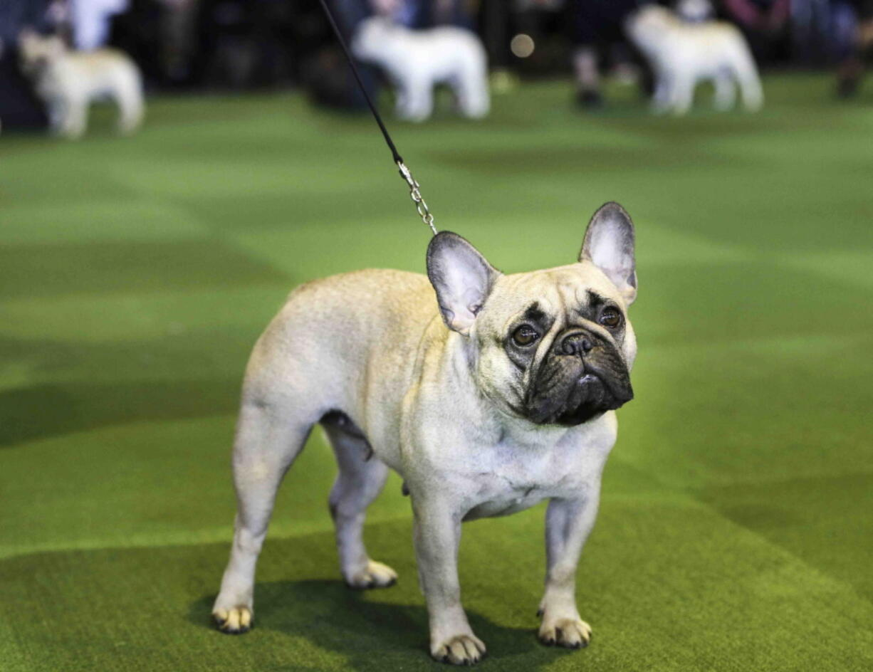 FILE - In this Feb. 16, 2015, file photo, a French bulldog competes at the Westminster Kennel Club show in New York. The French Bulldog is among the top ten popular breeds for 2020.