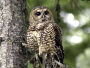 FILE - In this May 8, 2003, file photo, a northern spotted owl sits on a tree branch in the Deschutes National Forest near Camp Sherman, Ore. Environmental groups have filed a lawsuit seeking to preserve protections for 3.4 million acres of northern spotted owl habitat from the US-Canadian border to northern California. The U.S. Fish and Wildlife Service removed protections for the old-growth forest in the last days of the Trump administration.