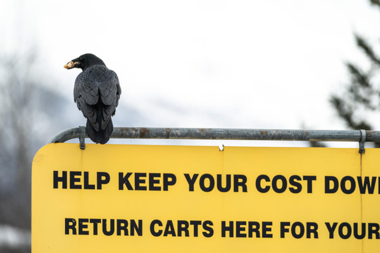 A raven carries food in its beak as it sits atop a sign in a Costco parking lot on Wednesday, March 24, 2021 in south Anchorage. People have been sharing stories on social media of ravens stealing food from their carts while they load groceries into their vehicles.