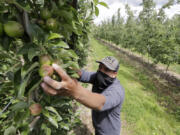 Orchard worker Francisco Hernandez reaches to pull Honeycrisp apples off a tree June 16 during a thinning of the trees at an orchard in Yakima.