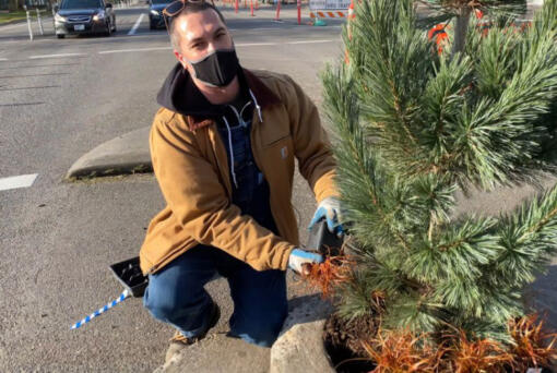 Daniel Misner with the Portland Parks & Recreation Department adds red hook sedge beneath the Vanderwolf's Pyramid limber pine tree at Mill Ends Park, the smallest park in the world.