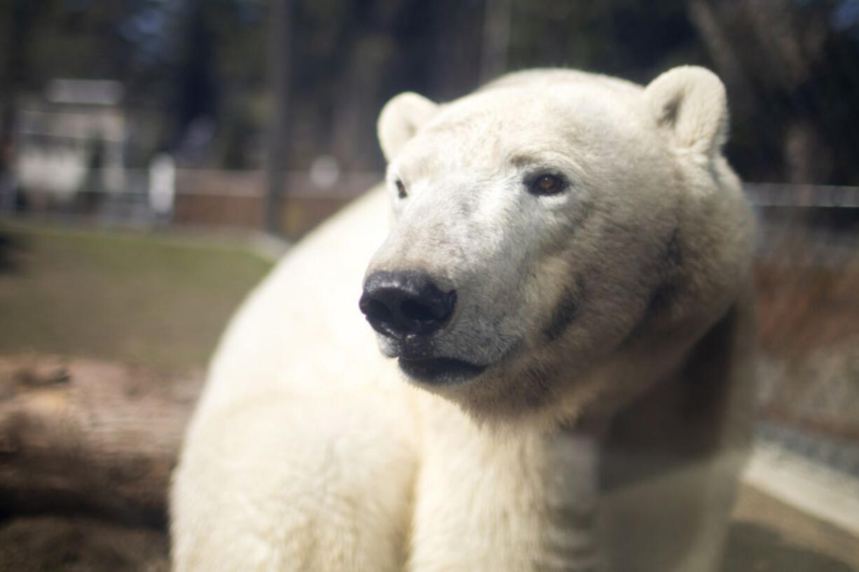 Polar bear Nora is back at the Oregon Zoo, seen here March 31. She isn't yet officially on display, but is already making use of the new Polar Passage habitat and can at times be seen by zoo visitors.