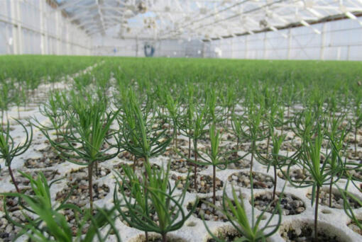 Rows of conifers grow in a greenhouse at the Webster Forest Nursery, operated by the Washington Department of Natural Resources. Washington produces about 8 million seedlings a year for reforestation on state and private lands, but many other states have closed nurseries or cut production in recent years, leaving small forest owners without a crucial supply of trees.