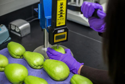 Post harvest scientist Fang Tham measures the force needed to puncture a chayote with a penetrometer at Hazel Technologies in Chicago on November 15, 2019. This measurement helps determine the quality of the fruit.