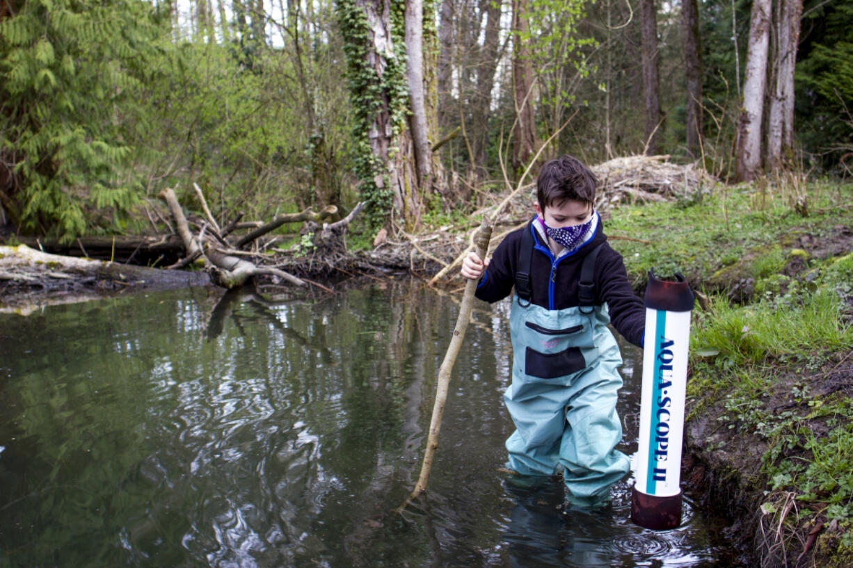 Fourth-grader Tarroh Bashore of Seattle wades through a beaver-dammed section of Thornton Creek in search of amphibian egg sacs as part of a volunteer monitoring program.