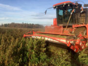A mechanized harvester is deployed in a Sauvie Island hemp field to strip off plant foliage, a raw material for CBD products.