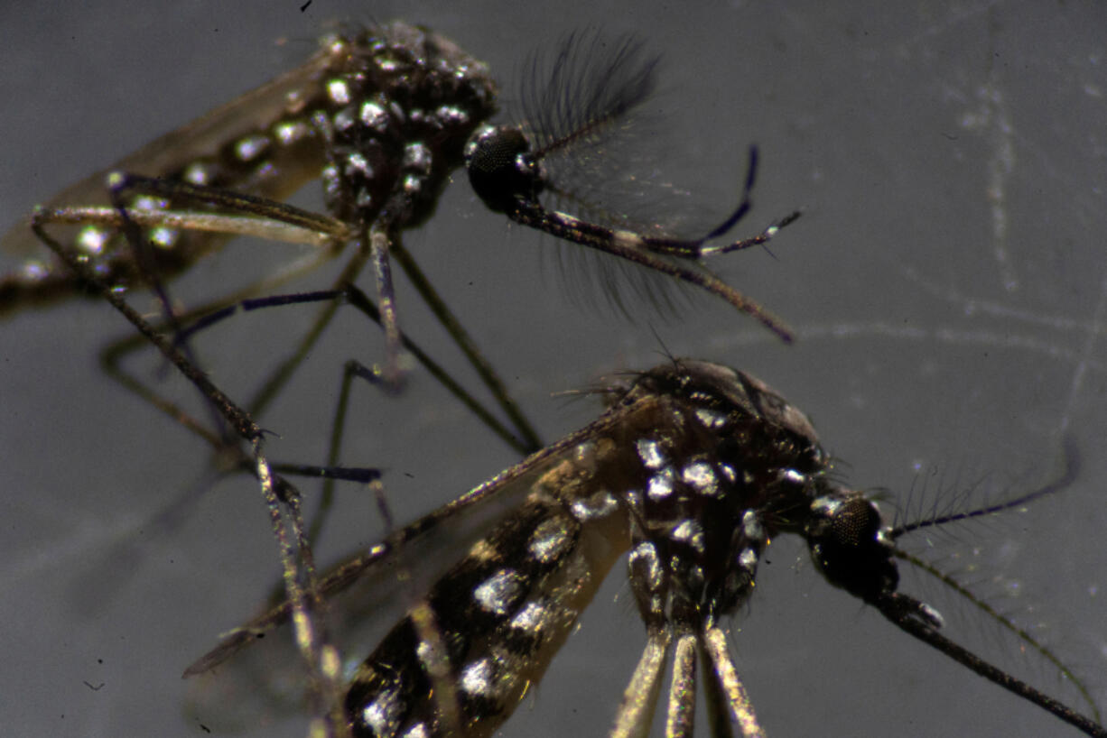 Male, top, and female Aedes aegypti mosquitoes are seen through a microscope at the Oswaldo Cruz Foundation laboratory in Rio de Janeiro, Brazil, on Aug. 14, 2019.