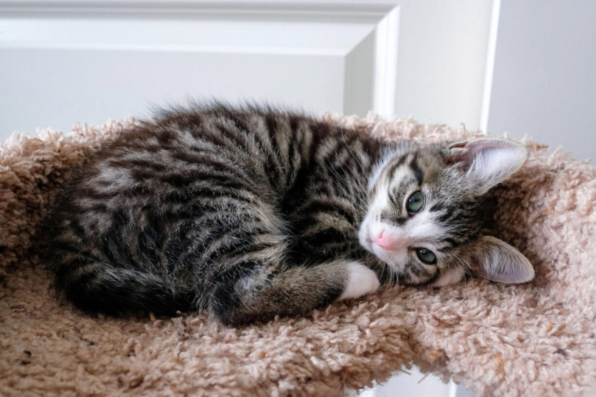 """MINNEHAHA: No-kill cat shelter Furry Friends raised $8,956 during its second annual """"Not Kitten Around"""" auction, held online."""