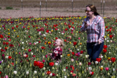 Tulips bloom at Holland America Flower Gardens news photo gallery