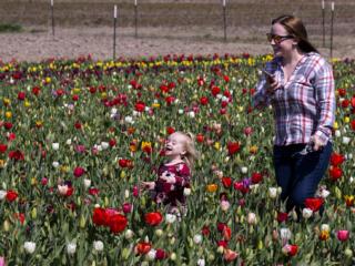 Tulips bloom at Holland America Flower Gardens