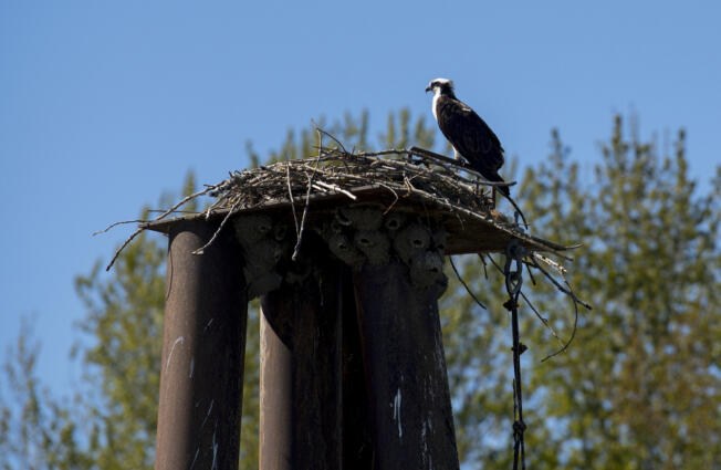 An osprey takes in the view from its perch at Vancouver Lake under sunny conditions and blue skies on Wednesday afternoon. The weekend promises near-perfect weather.