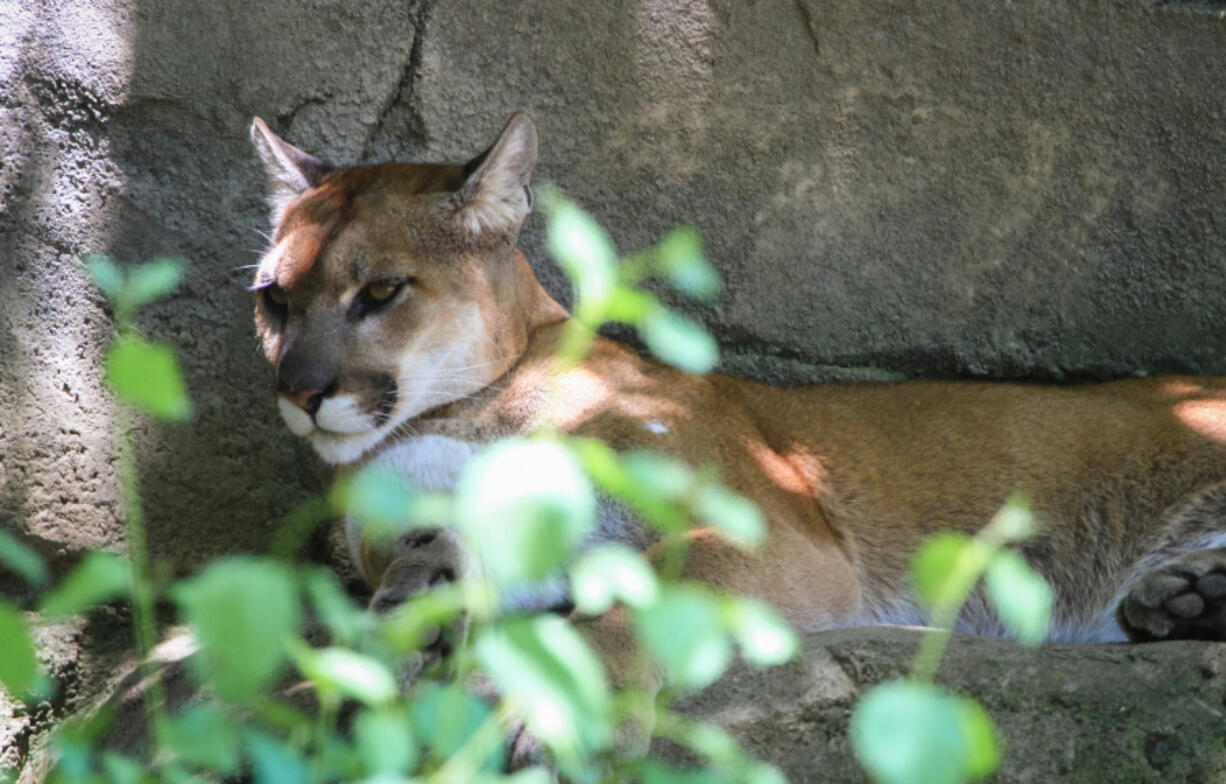 An adult cougar enjoys some shade in Oregon.