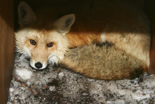 FILE - In this undated file photo provided by the California Department of Fish and Wildlife, a captured male red fox is seen. An environmental group filed a lawsuit Thursday, April 15, 2021, alleging the federal government has failed to act on petitions to protect nine different species under the Endangered Species Act and failed to designate critical habitat for 11 others. The complaint covers species from Oregon to Delaware and asks the U.S. Fish and Wildlife Service to make decisions on the species after years of delays.