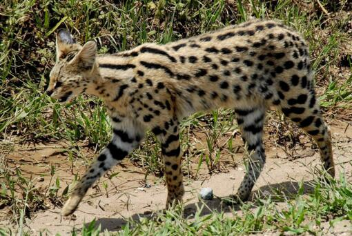 The African Serval is a wild cat native to sub-Saharan Africa. Though some are kept as exotic pets, ownership of these cats is opposed by animal-rights activists, who say even domesticated servals retain wild tendencies.
