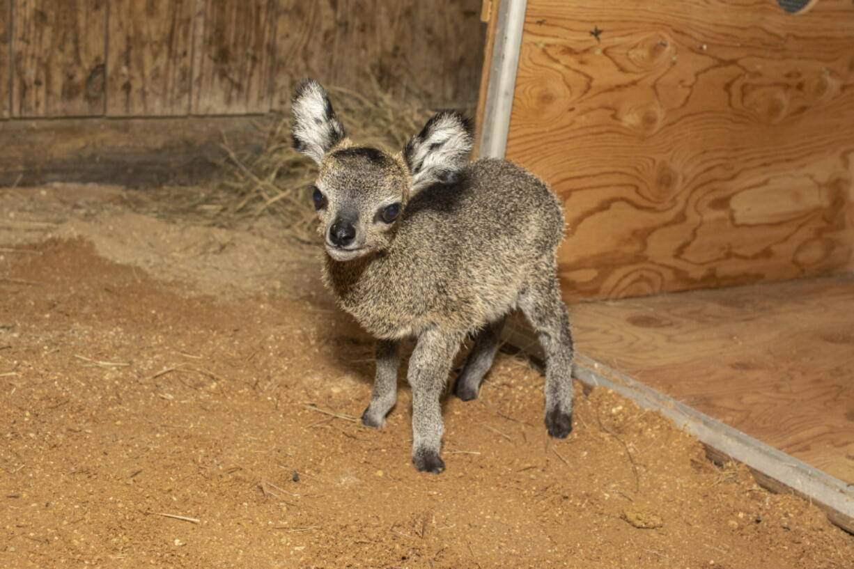 In this April 2021 photo provided by the Brevard Zoo, a baby klipspringer antelope stands in an enclosure at the zoo in Melbourne, Fla. The male calf, born on April 15, is the ninth klipspringer born at the zoo.