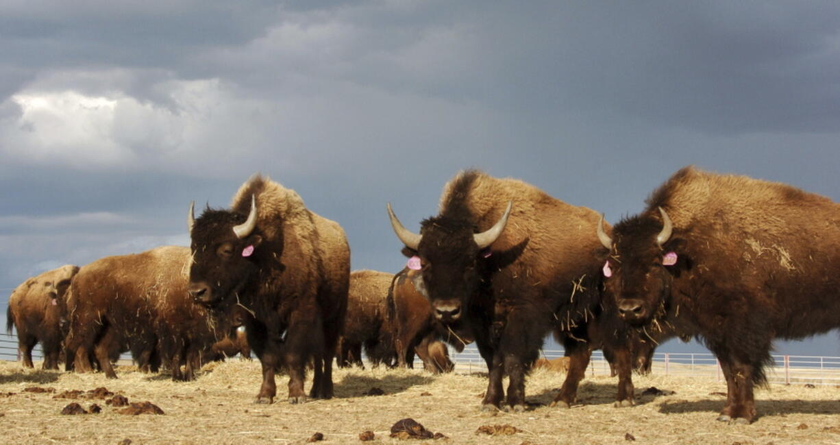A herd of bison stand in a pen on the Fort Peck Reservation near Poplar, Mont., in 2012.