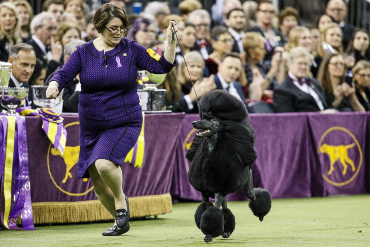FILE - In this Tuesday, Feb. 11, 2020, file photo, Siba, a standard poodle, competes for Best in Show during 144th Westminster Kennel Club dog show in New York. America's top dogs won't have fans at this year's Westminster Kennel Club dog show. The club announced Monday, March 29, 2021, that spectators and vendors won't be allowed this year because of coronavirus limitations. It's the latest in a series of pandemic shakeups to the nation's most prestigious canine competition, which will be held June 12-13 and has moved from New York City's Hudson River piers and Madison Square Garden to an outdoor setting 25 miles north of Manhattan.