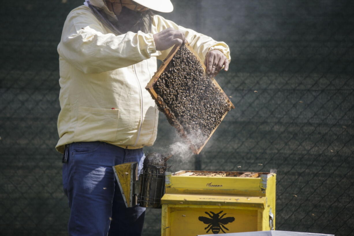 Beekeeper Francesco Capoano moves a frame from a hive at an apiary in Milan, Italy, Thursday, April 22, 2021. A bee collective is introducing 17 new colonies to their new hives on Earth Day, bringing to 1 million Milan's population of honey bees housed in boxes specially designed by artists throughout the city. The seven-year-old project is aimed at educating the public about the importance of bees to the environment, while boosting their population and providing a sweet treat of honey. It is billed as the biggest urban bee collective in Europe.
