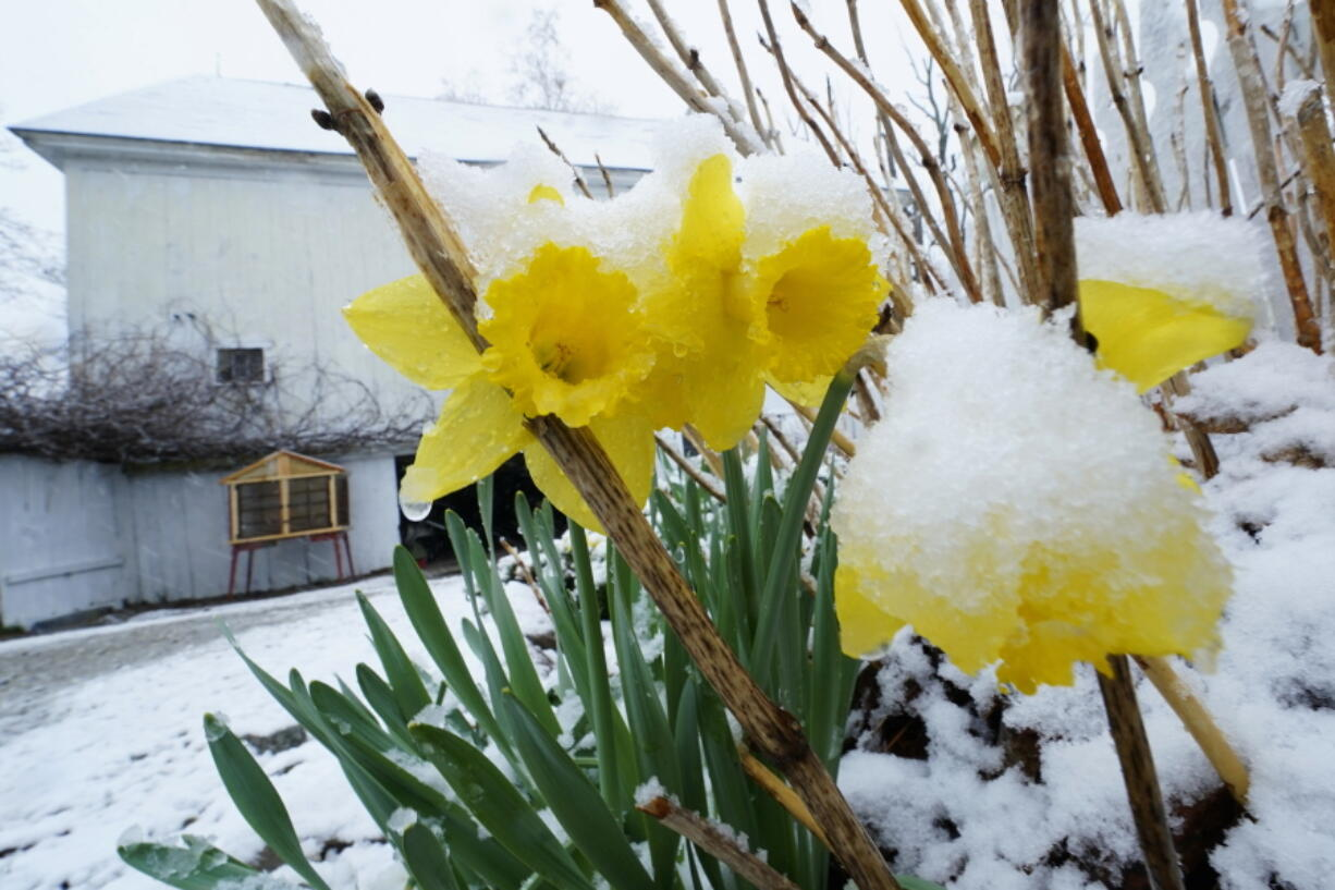 Snow covers daffodils during a spring storm, Friday, April 16, 2021, in in East Derry, N.H. Some portions of New England received about a half a foot of snow from the storm.