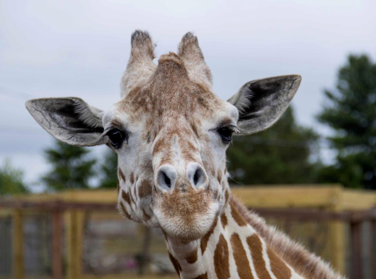A giraffe named April is seen June 3, 2018, at Animal Adventure Park in Harpursville, N.Y.