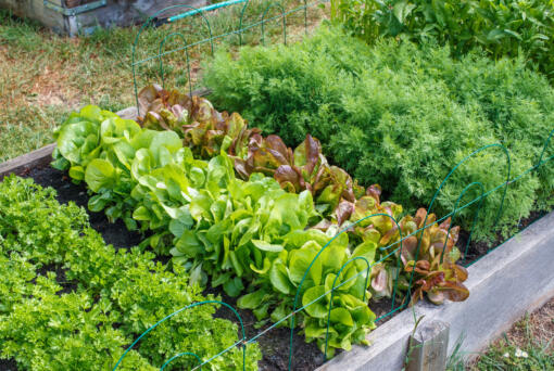 Rows of green vegetables grow a community garden.