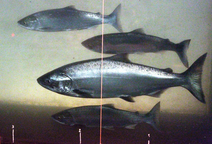 A chinook salmon, second from the bottom, swims in the Columbia River with sockeye salmon at the Bonneville Dam fish-counting window near North Bonneville.