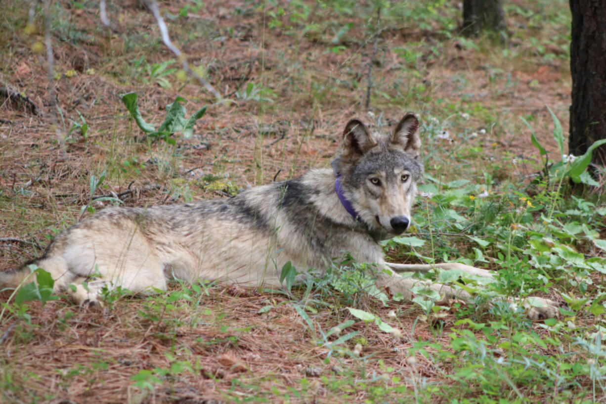 OR-93 arrived in California in late January and has ventured farther south in the state than any other wolf in more than a century. A new wolf, OR-103, has also crossed over from Oregon into California.