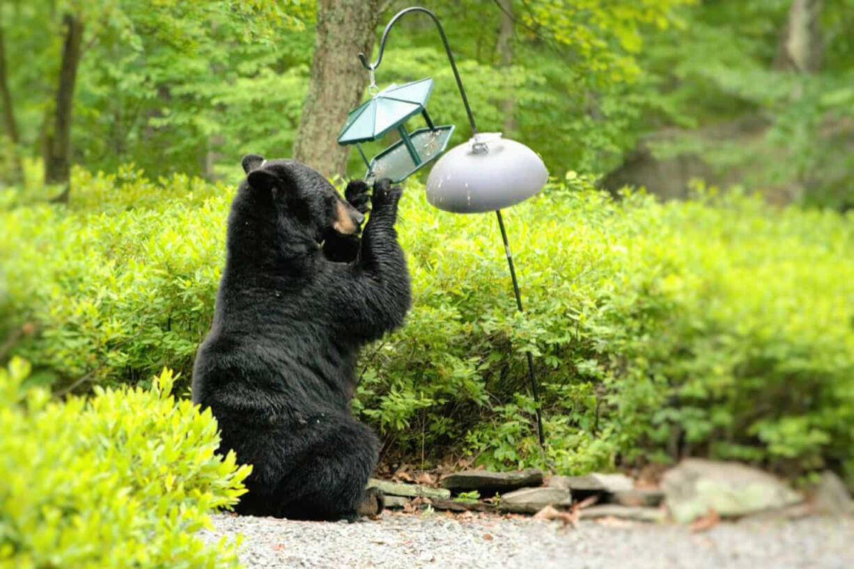 A bear helps itself to a birdfeeder in a backyard. Washington Department of Fish and Wildlife Officer Tom Moats contends that if you are feeding birds in bear country during the spring, you are bound to draw bears. Birds have plenty of wild food available in the spring.